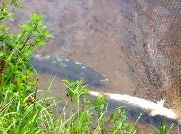 Мёртвая сёмга в русловом садке в реке Кола.