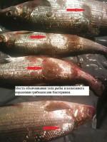 Почему гибнет рыба в реке Кола